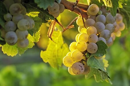 White wine grapes hanging on the vine at sunset, glowing from the setting sun photo