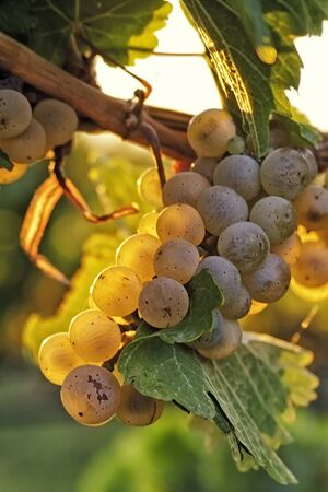White wine grapes glowing by the sune on the vine photo