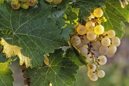 White wine grapes hanging on the vine in a vineyard photo