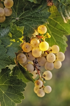 White wine grapes glowing with sunlight on the vine, portrait photo