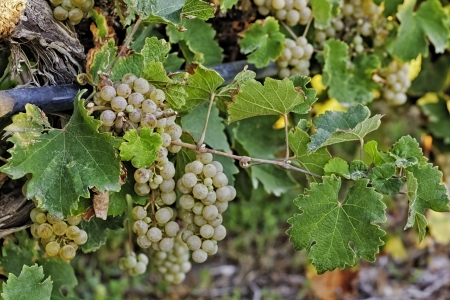 White wine grapes hanging on the wine photo