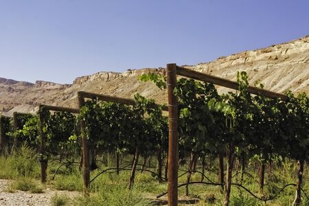 Rows of grapes in Grand Junction Colorado winery