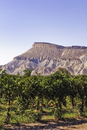 wine road: Grand Junction mesa view from wine vineyard, portrait