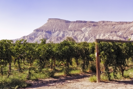 wine road: Grand Junction mesa view from wine vineyard