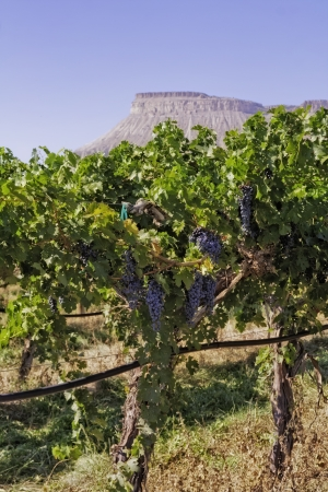 wine road: Palisades red wine grapes hanging on vine with view of mesa in the distance