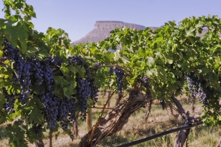 palisade: Colorado red wine grapes hanging on vine with view of mesa in the distance