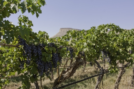 wine road: Red wine grapes hanging on vine with view of mesa in the distance Stock Photo