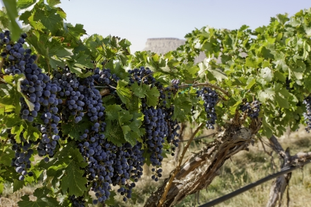 Red wine grapes hanging on vine with view of mesa in the distance Stock Photo
