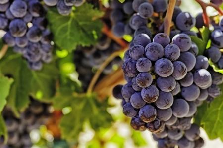 uvas vino: Sunlit uvas de vino rojo en la vid con malla