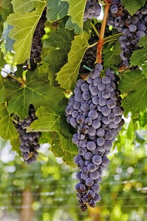 Large bunch of wine grapes hanging in vineyard with netting, portrait