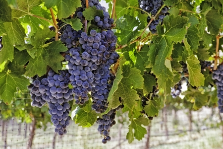 Bunches of wine grapes hanging on vine with netting