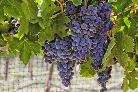 wine road: Bunches of wine grapes hanging on vine with netting
