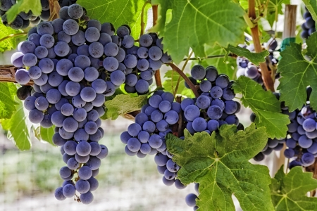 wine grapes: Wine grapes hanging on the vine Stock Photo
