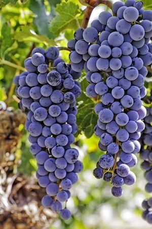2 large bunches of red wine grapes hanging on the vine, close up
