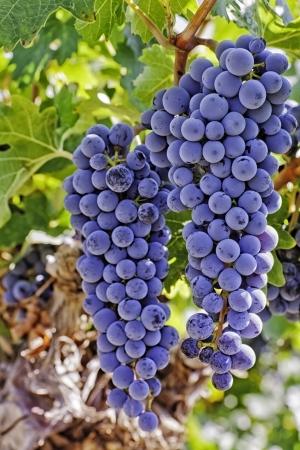 uvas: 2 grandes racimos de uvas de vino rojo que cuelga en la vid