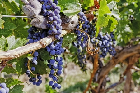 wine road: Wine grapes hanging on the vine in vineyard
