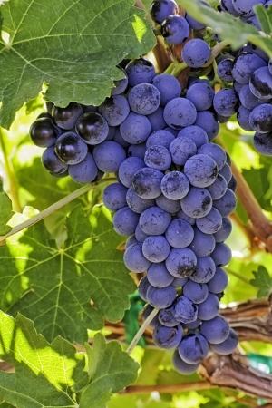 Backlit rode wijn druiven opknoping op de wijnstok Stockfoto