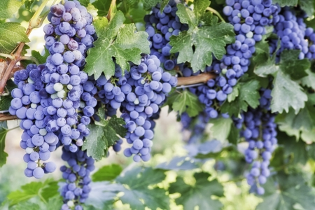 wine road: Lots of red wine grapes ready for harvest on the vine Stock Photo
