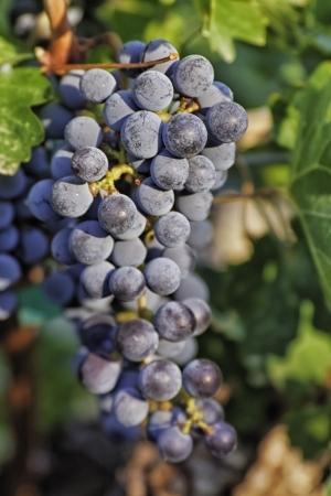 uvas vino: Iluminado por el sol rojo uvas en la vid