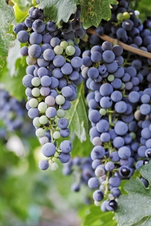 wine road: Red wine grape bunches hanging in vineyard, portrait
