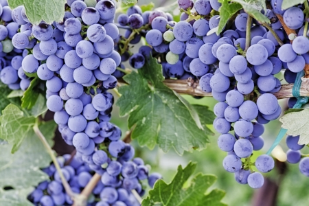 Bunches of red wine grapes hanging on vine