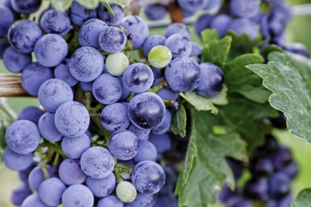 wine road: Close up of red wine grapes