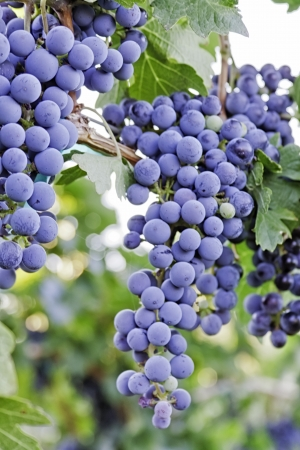 Red grapes hanging on vine photo