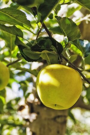 Close up of yellow apples hanging on tree, portrait