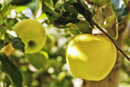 Yellow apples hanging on tree Stock Photo