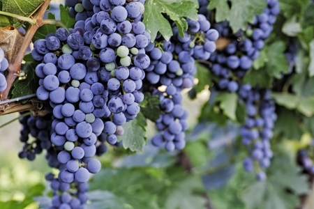 wine road: Red wine grapes hanging on the vine