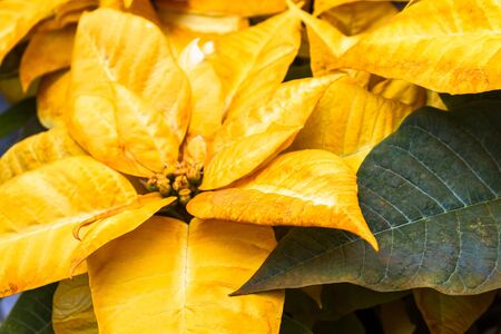 Yellow Christmas poinsettias photo