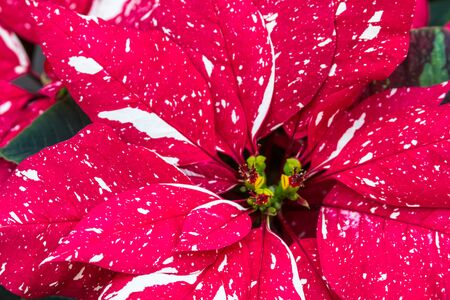 Verigated red and white Christmas poinsettias photo
