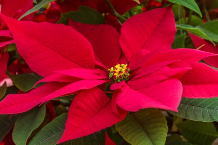 Christmas red poinsettias