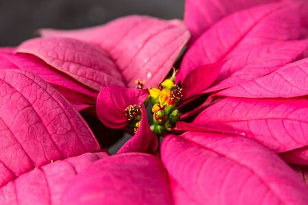 Pink holiday poinsettia photo