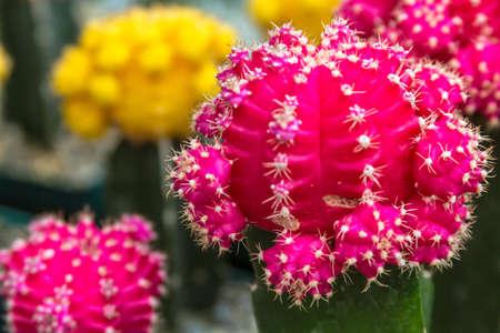 Pink and yellow barrel cactus photo