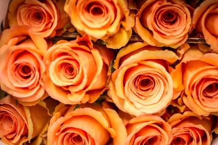 rosas naranjas: Filas de rosas de color naranja p�lido Foto de archivo