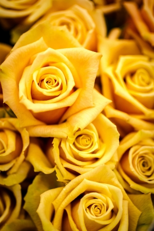Bunch of yellow roses in a group