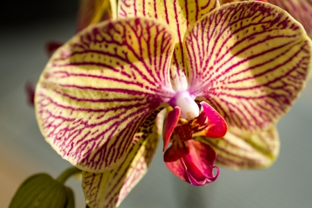 Sunlit yellow and purple striped orchid Stock Photo