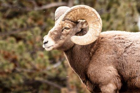 rocky mountain bighorn sheep: Male Rocky Mountain Bighorn Sheep Ram standing in snow flurries