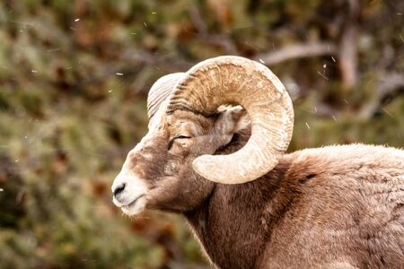 rocky mountain bighorn sheep: Male Rocky Mountain Bighorn Sheep Ram standing in snow flurries with eyes closed Stock Photo