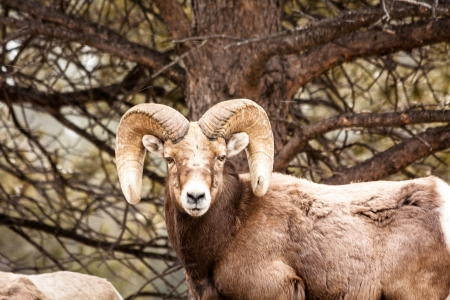 Male Rocky Mountain Bighorn Sheep Ram standing in snow flurries in forest