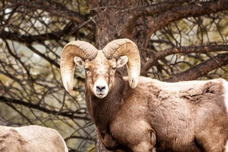 rocky mountain bighorn sheep: Male Rocky Mountain Bighorn Sheep Ram standing in snow flurries in forest