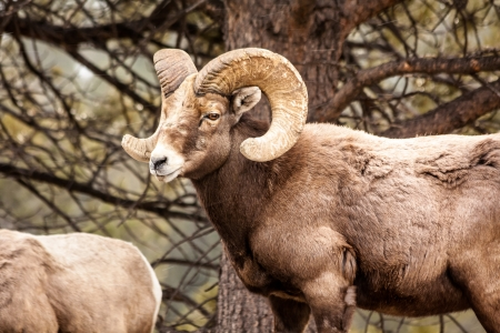 rocky mountain bighorn sheep: Male Rocky Mountain Bighorn Sheep Ram standing in snow flurries in forest from side Stock Photo