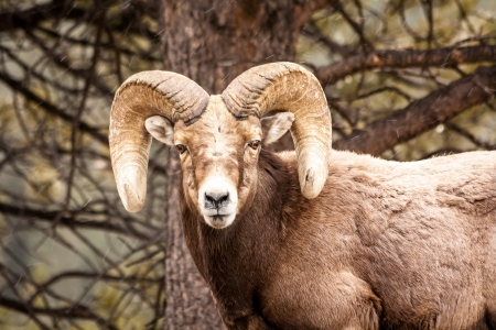 rocky mountain bighorn sheep: Male Rocky Mountain Bighorn Sheep Ram standing in snow flurries in front of tree face forward Stock Photo