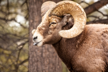 rocky mountain bighorn sheep: Male Rocky Mountain Bighorn Sheep Ram standing in snow flurries sticking tongue out