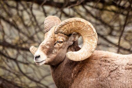 bighorn sheep: Maschio Rocky Mountain Bighorn Sheep Ram in piedi in folate di neve