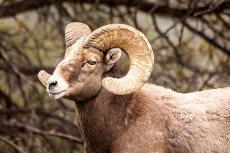 rocky mountain bighorn sheep: Male Rocky Mountain Bighorn Sheep Ram standing in snow flurries from the side