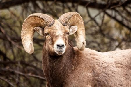 borrego cimarron: Hombre Rocky Mountain Bighorn Sheep Ram de pie en copos de nieve con ganas