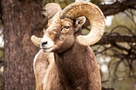 rocky mountain bighorn sheep: Male Rocky Mountain Bighorn Sheep Ram standing in snow flurries looking to the side Stock Photo