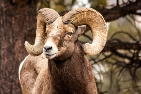 Male Rocky Mountain Bighorn Sheep Ram standing in snow flurries looking ahead Stock Photo